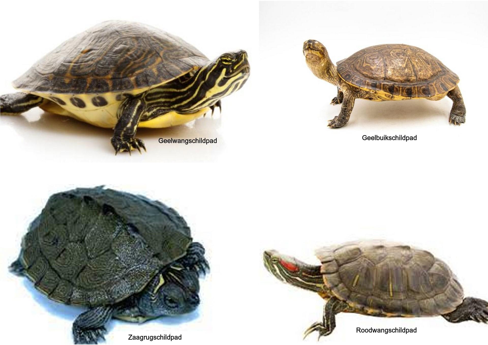 collage schildpad.jpg